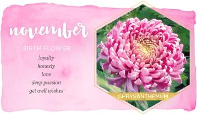 Chrysanthemum November